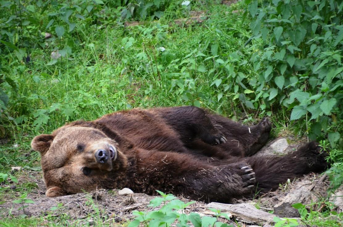 bear-358166_1920